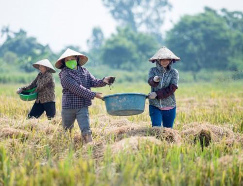 Hiệu quả từ mô hình canh tác lúa theo quy trình hữu cơ ở Ngã năm, Sóc Trăng